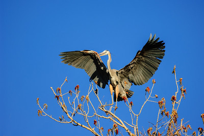 Great Blue Heron-207