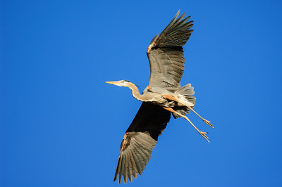 Great Blue Heron-199