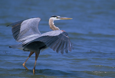 Great Blue Heron-162