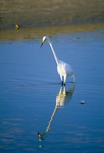 Great Egret-234