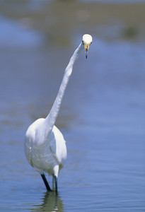 Great Egret-283