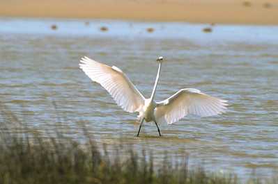 Great Egret-277
