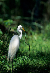 Great Egret-144