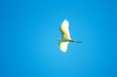 Great Egret-348