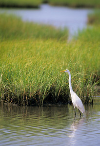 Great Egret-327