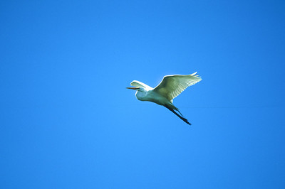 Great Egret-303