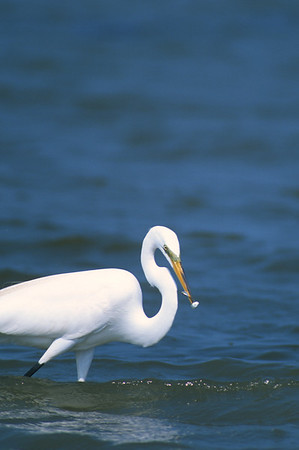 Great Egret-259