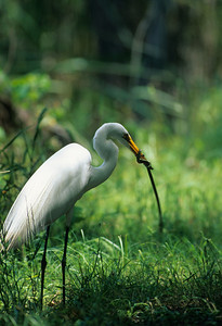 Great Egret-142