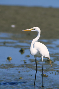 Great Egret-244