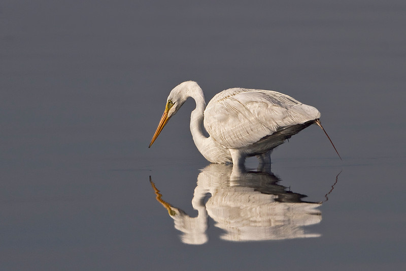 Great Egret Reflection.