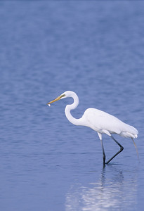Great Egret-261