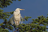 Great Egret. a very rare visitor to Vancouver Island .stayed for 5 days mid June 2011.