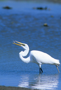 Great Egret-258