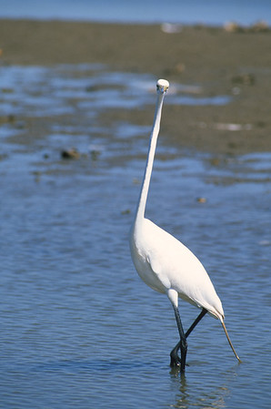 Great Egret-248