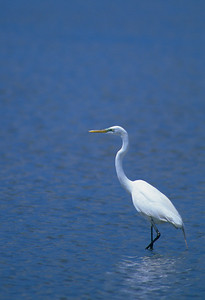 Great Egret-264