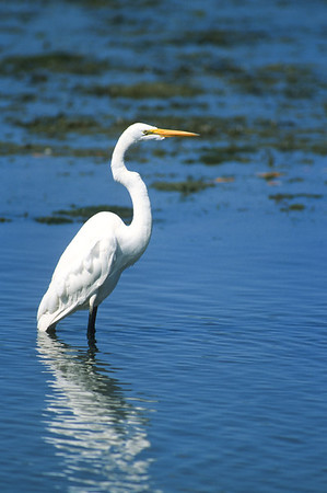 Great Egret-358