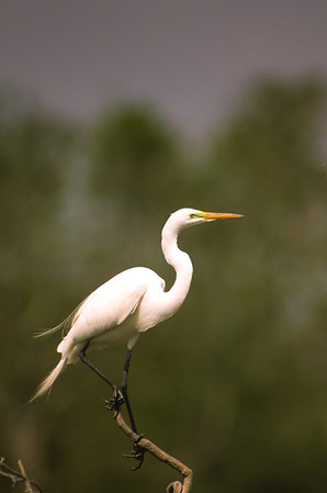 Great Egret-371