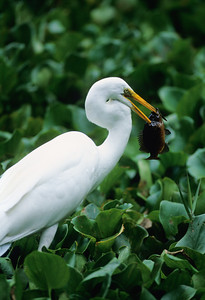 Great Egret-189