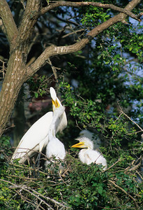 Great Egret-325