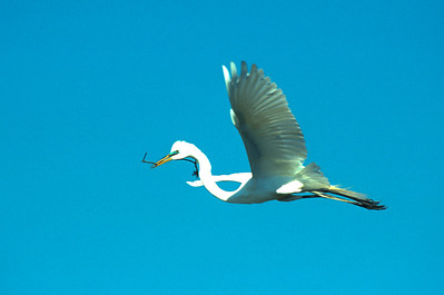 Great Egret-360