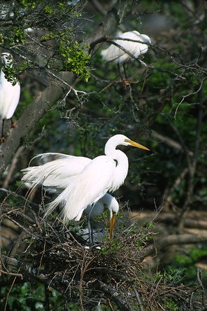 Great Egret-378