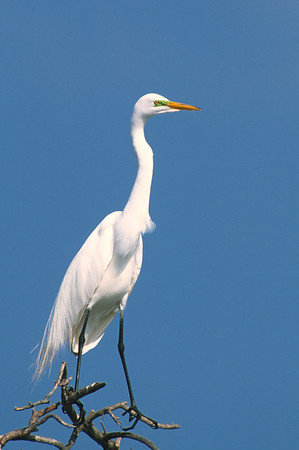 Great Egret-374