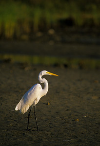 Great Egret-265