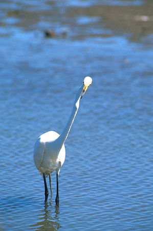 Great Egret-249