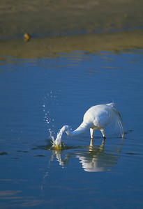 Great Egret-232