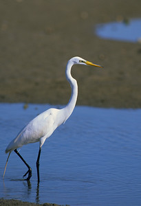 Great Egret-269