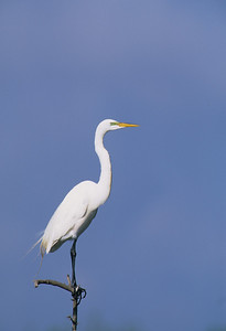 Great Egret-375