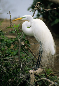 Great Egret-412