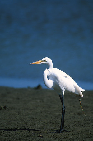 Great Egret-267