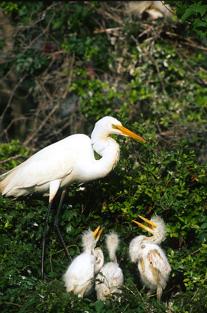 Great Egret-311