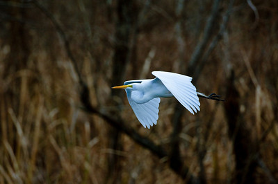 Great Egret-422