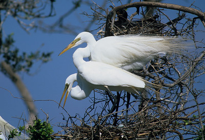 Great Egret-382
