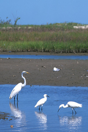 Great Egret-241