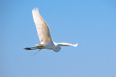 Great Egret-341