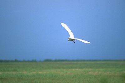 Great Egret-347
