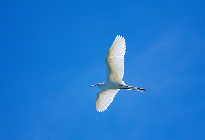 Great Egret-278