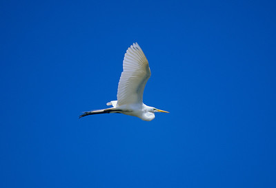 Great Egret-298