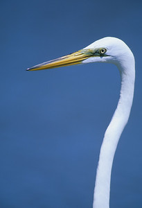 Great Egret-281