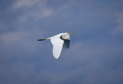 Great Egret-301