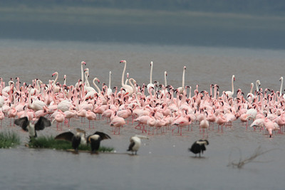 Lesser and Greater Flamingos