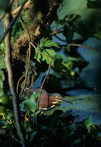 Green Heron-106