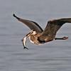 Great Blue Heron @ Cedar Point Lake Erie - May 2013
