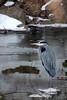 Great Blue Herion @ Scioto River - Feb 2009