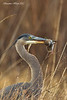 Great Blue Heron with Vole .