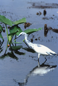 Little Blue Heron-108