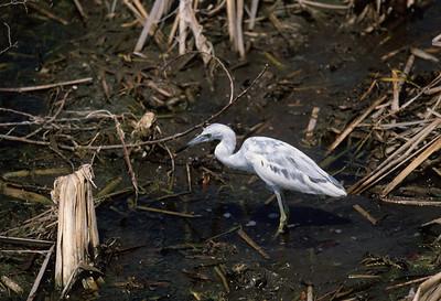 Little Blue Heron-135